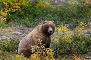 grizzly-bear_PD