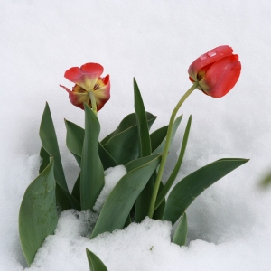 tulips-in-snow